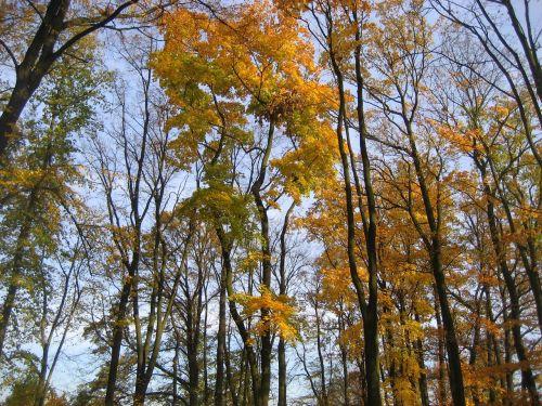 medžiai,miškas,ruduo,gamta,natūralus,medinis,lapija,medis,geltona,žalias,raudona,vasara,parkas,ežeras,Lenkija,Europa,centrinė europa,vakaruose,dangus,grindys,puodelis,vaizdas,kontrastas