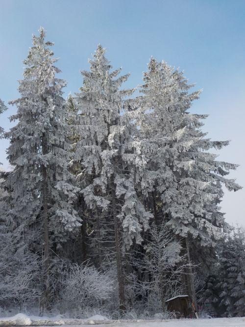 medžiai,šaltis,saulė,auskaras,žiema