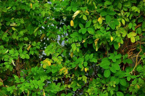 lapija, lapai, krūmas, gamta, žalias, medžiai ir lapija 23