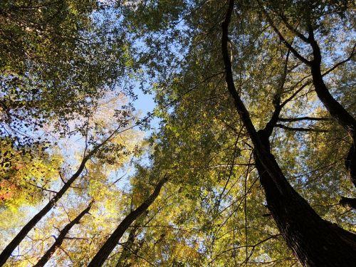 trejetas,baldakimas,viršuje,miškas,medžiai,ruduo,gamta