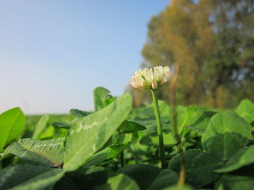 trifolium repens, baltas dobilas, olandų glover, flora, wildflower, botanika, rūšis, augalas, žiedynas, žydi
