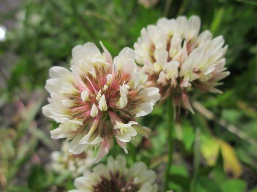 trifolium repens, baltas dobilas, olandų dobilas, wildflower, flora, makro, žiedynas, žiedas, botanika, augalas, rūšis