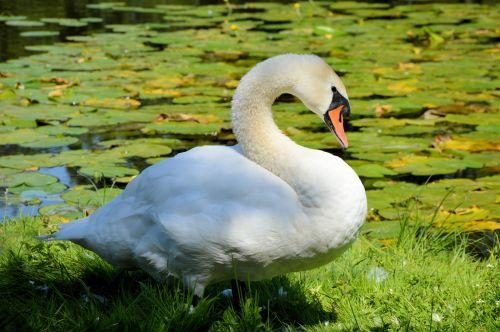 gulbė, gulbės, vanduo & nbsp, paukštis, gamta, gyvūnas, paukštis, olandų, polderis, pasididžiavimas, pasididžiavimas