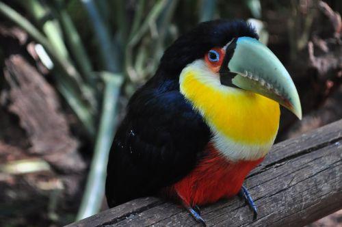 Tucano, Paukštis, Brazilija, Gamta, Didelis Snapelis, Miškas, Gyvūnai, Zoologijos Sodas, Fauna, Brazilijos Fauna, Paukščiai, Brazilijos, Ilgas Snapelis, Katarakta, Atogrąžų Paukščiai, Ekologija