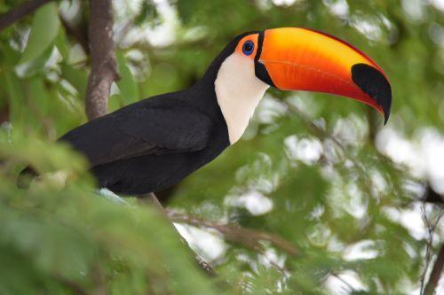 Tucano, Gamta, Paukštis, Zoologijos Sodas, Fauna, Gyvūnai, Ilgas Snapelis, Ekologija, Brazilijos Fauna, Paukščiai, Atogrąžų Paukščiai