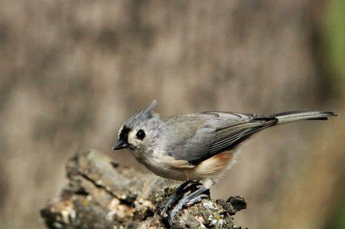 gamta, laukinė gamta, gyvūnai, paukščiai, berniukas, taftingas & nbsp, girliukas, pilka, pilka & nbsp, paukštis, tuft, plunksnos, pilka & nbsp, plunksnų, sėdi, sustingęs, medis & nbsp, filialas, medis & nbsp, galūnės, pakilimas, skrydis, skristi, pilka & nbsp, fonas, kuoduotasis šeivamedis arti