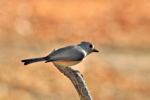gamta, laukinė gamta, gyvūnai, paukščiai, berniukas, taftingas & nbsp, girliukas, sustingęs, sėdi, medis & nbsp, filialas, Bokeh, auksinis & nbsp, bokeh, kritimo & nbsp, bokeh, kritimas, ruduo, šparuotų mergelė filiale