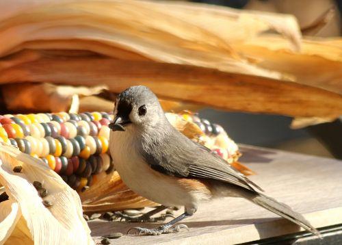 gamta, laukinė gamta, gyvūnai, paukščiai, pilka & nbsp, paukštis, taftingas & nbsp, girliukas, plunksnos, sparnai, snapas, mediena, stalas, ūkis, sėkla, saulėgrąžų & nbsp, sėkla, valgymas, Indijos & nbsp, kukurūzai, kritimas, ruduo, daržovių, pilka & nbsp, plunksnų, balta & nbsp, krūtinė, kuoduotoji šešėliai su sėkla