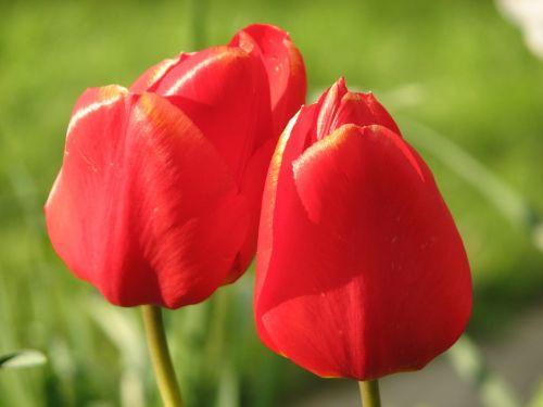 tulpė,raudona,gėlė,žalias,gamta,flora,sodas,žydėjimas,žiedlapiai,pavasaris,augalas,botanika,žolė,gėlių pumpurai,tapetai