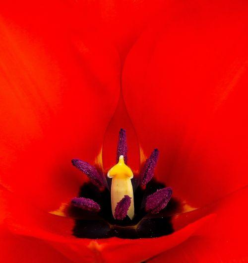 tulpė,žiedas,žydėti,Uždaryti,antspaudas,tręšimas,makro,raudona,gėlė,pavasaris,žiedadulkės,žydėti,augalas,sodas
