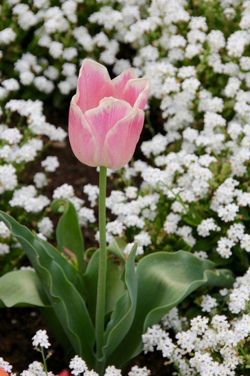 tulpė,gloeckchenblume,žalias,kompozitai,rožinė rožė,žiedas,žydėti,pavasaris