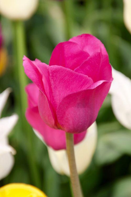 tulpė,tulpių laukas,tulpenbluete,pavasaris,tulpių laukai,žydėjo,pavasario gėlė,holland,olandų,valstijos sodo šou