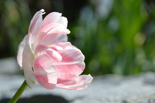 tulpė,gėlė,žiedas,žydėti,rožinis,žydėjo