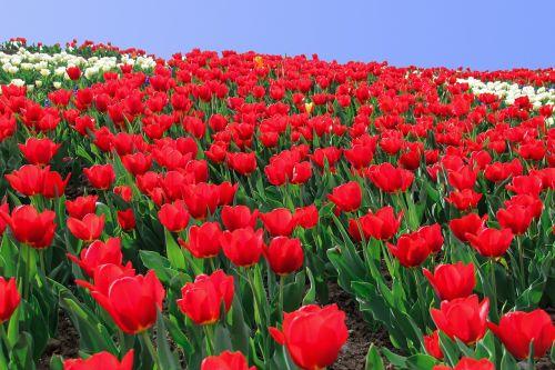 tulpė,tulpių jūra,gėlės,geliu lova,tulpių laukas,tulpenbluete,ryškios spalvos,raudona,blütenmeer,pavasaris