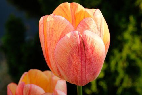 tulpė,gėlė,pavasaris,gėlės,gamta,raudona,geltona,rožinis,skintos gėlės,pavasario gėlės,geltonos gėlės,žydėjo,žydėti,augalas,kauliukai,žiedlapiai,spalvinga,gražus,makro,sodas,vasara,rožė,forma,Uždaryti