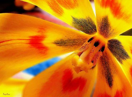 tulpė,tulpės,pavasaris,gėlė,gamta,aštrumo žaidimas,gėlės,žydėti,žydėjo,augalas,sodas,žiedas,žydėti,pavasario gėlė,antspaudas,Uždaryti,spalva,spalvinga,makro,oranžinė,raudona,geltona,makro nuotrauka,Iš arti,žiedadulkės,bičių žiedadulkės,tvirtas,pistil,žiedai,žiedlapiai,šviesus,gražus,flora