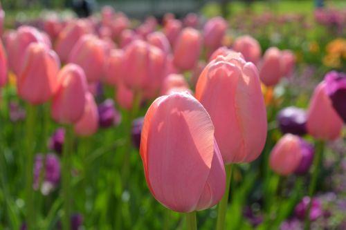 tulpė,gėlė,tulpių laukas,tulpių laukai,violetinė