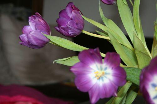 tulpė,violetinė,antspaudas,gėlės,Uždaryti,violetinė,veislinis tulpis,tulpine gėlė,tulpių puokštė