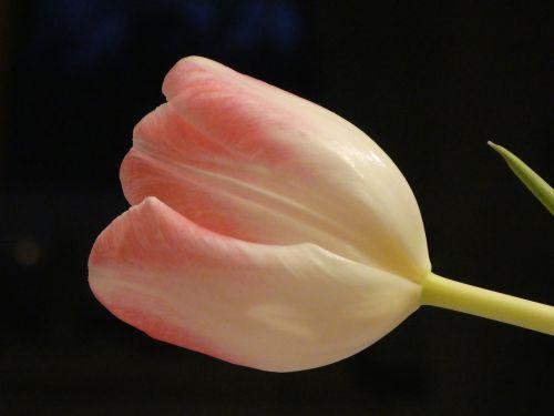 tulpė,gėlė,švelnus,rožinis