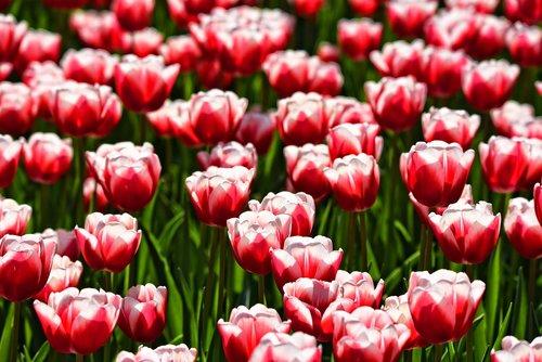 tulpė, gėlė, augalų, svogūniniai, žiedas, spyruoklė žydi, Žiedlapis, raudona, baltos spalvos, raudonos ir baltos spalvos tulpės, Sodas, Sunny, saulės šviesa
