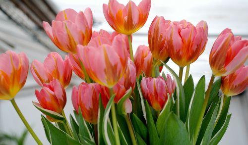 tulpė,tulpės,gėlė,gamta,tulpių laukai,holland
