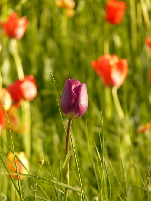 tulpė,šviesa,atgal šviesa,vakarinė šviesa,gėlė,žiedas,žydėti,augalas,violetinė,atskirai