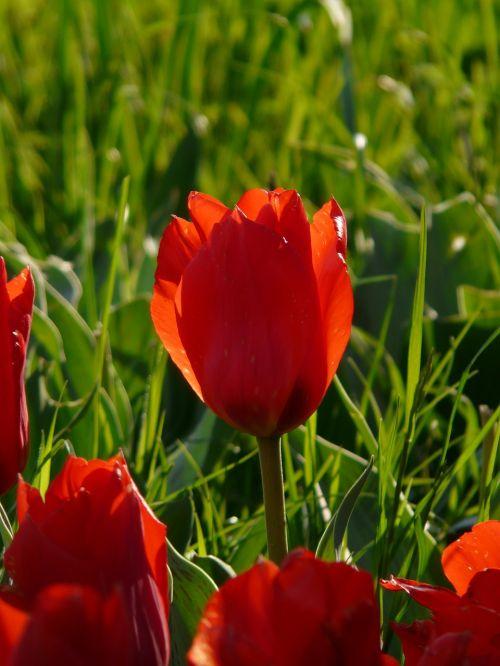 tulpė,šviesa,atgal šviesa,vakarinė šviesa,gėlė,žiedas,žydėti,augalas,raudona,atskirai