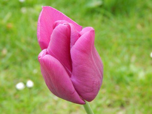 tulpė,gėlė,violetinė,žiedas,žydėti,raudona violetinė,purpurinė gėlė,violetinė,pavasaris,vasara,kvepalai