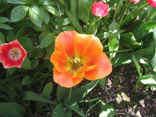 tulpė,žydėjo,gamta,tulpenbluete