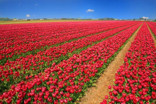 tulpių laukas,tulpės,raudona,holland,gamta,gėlės,pavasaris,žiedas,žydėti,laukas,violetinė,violetinė,žydėti,laukai,flora,žalias,tulpių laukai,žiedlapiai,tulpenbluete,dangus,Balandis,žydėjo,spalva,kraštovaizdis,spalvinga,žiedas