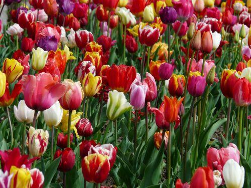 tulpių laukas,tulpė,tulpenbluete,spalvinga,spalva,pavasaris,tulpės,žydėti,gėlės,spalvinga