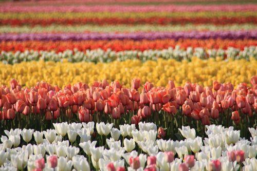 tulpių laukai,Vašingtono valstija,Skagit apskritis,tulpių festivalis