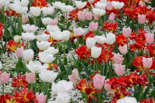 tulpių kraštovaizdis,tulpės,holland,valstijos sodo šou,gėlės,olandų,tulpių laukai,pavasaris