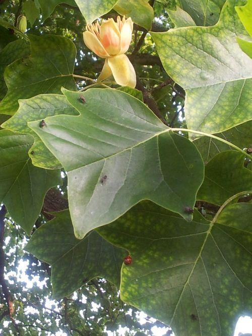 tulpių medis,gėlė,didelis medis,tulpių žiedai,flora,gamta