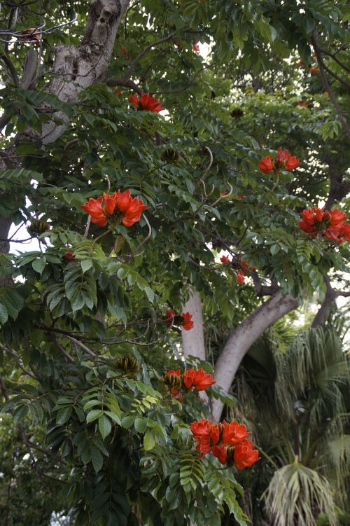 tulpių medis,egzotiškas,exot,atogrąžų,gamta,augalas,egzotiška gėlė,žiedas,žydėti,žydėti