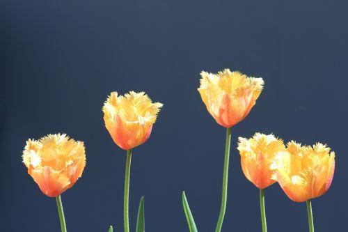 tulpės,geltonos oranžinės tulpės,geltonos tulpės,oranžinės tulpės,gėlės,gėlė,gamta,natūralus