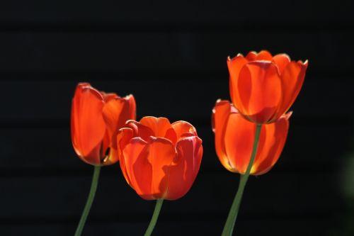 tulpės,raudonos tulpės,raudonos oranžinės tulpės,oranžinės tulpės,gėlės,gėlė,gamta,natūralus