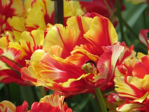 tulpės,Uždaryti,farbenpracht,keukenhof,holland