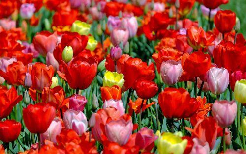 tulpės,spalvinga,gėlės,žydėti,pavasaris,tulpių laukas