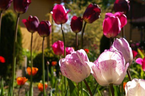 tulpės,raudonos tulpės,raudona,gėlė,pavasaris,gamta,gėlės,žydėti,pavasario gėlė,augalas,ankstyvas bloomer,sodas,žiedlapiai,gėlių sodas,pavasario pranašys,dvigubos gėlės,rožės tulpės,flora,botanika,frühlingsanfang,frühlingsblüher,pilnai žydėti,pabudimas,tulpenbluete,atviras,gėlių svogūnėlių,geliu lova,egzotiškas,žydėjo,farbenpracht,šviesus,spalva,gražus,spalvinga,rožinis,rožinės tulpės,balti tulpės,grožis,violetinės tulpes