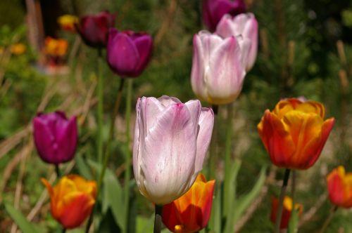 tulpės,balti tulpės,raudona,gėlė,pavasaris,gamta,gėlės,žydėti,pavasario gėlė,augalas,ankstyvas bloomer,sodas,žiedlapiai,gėlių sodas,pavasario pranašys,dvigubos gėlės,rožės tulpės,flora,botanika,frühlingsanfang,frühlingsblüher,pilnai žydėti,pabudimas,tulpenbluete,atviras,gėlių svogūnėlių,geliu lova,egzotiškas,žydėjo,farbenpracht,šviesus,spalva,gražus,spalvinga,rožinis,rožinės tulpės,oranžinė,grožis,violetinės tulpes