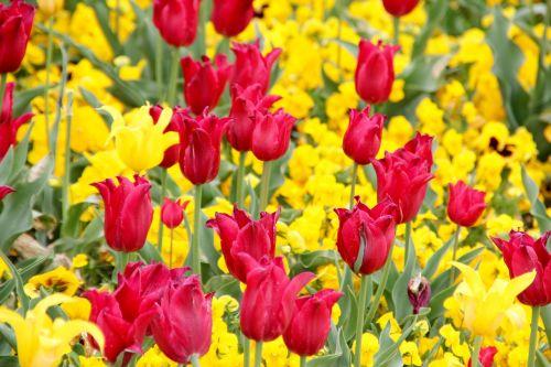 tulpės,holland,gėlės,olandų,tulpių laukai,dantytas kraštas
