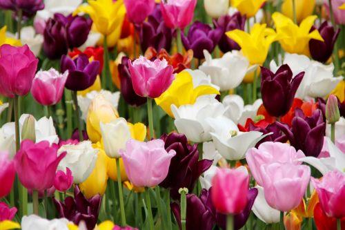 tulpės,tulpių laukas,žydėjo,tulpių laukai,tulpenbluete,pavasaris