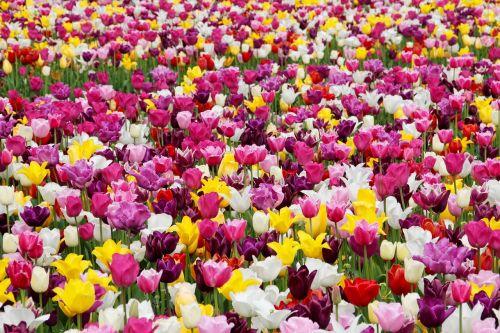 tulpės,tulpių laukas,tulpenbluete,tulpių laukai,gėlių sritis,spalvinga,holland