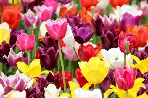 tulpės,tulpių laukas,tulpenbluete,pavasaris,tulpių laukai,žydėjo,pavasario gėlė,holland,olandų,valstijos sodo šou