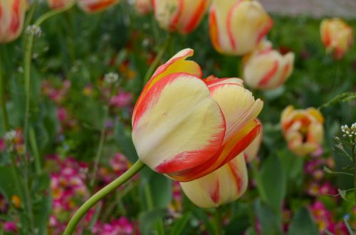 tulpės,istanbulas,tulpių festivalis,gėlė,oranžinė,geltona