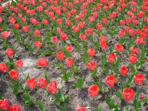 tulpės,holland,olandų,tulpių laukai,tulpių laukas,tulpenbluete,žydėjo,gėlės,spalvinga,žydėti,tulpių kraštovaizdis,pavasaris,raudona,farbenpracht