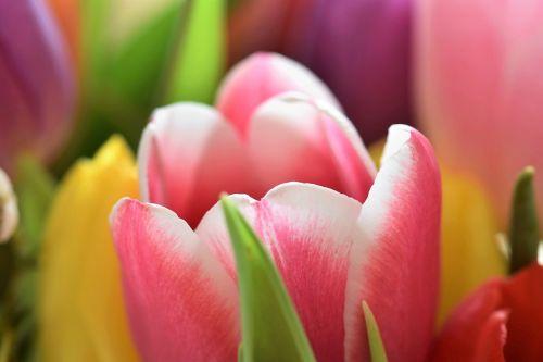 tulpės,strausas,gėlės,puokštė,tulpių puokštė,federalinė valdžia,spalvinga,schnittblume,pavasaris,žydėti