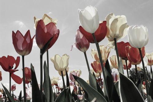 tulpės,tulpių laukas,tulpių laukai,pavasaris,žydėjo,tulpenbluete,pavasario gėlė,gėlių sritis,spalvinga,žydėti,olandų,dangus,gėlės,sodas,tulpių jūra,gamta,raudona,juoda balta