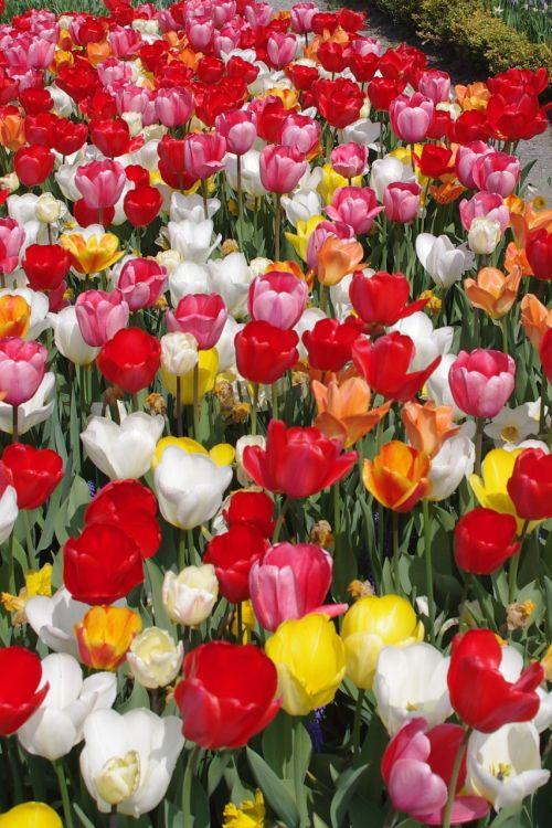 tulpės,spalvingos gėlės,tulpių jūra,pavasaris,spalvinga